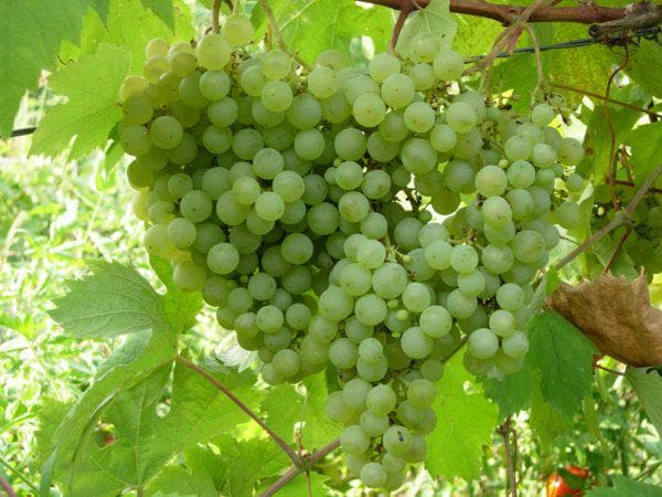 виноград Таежный изумруд