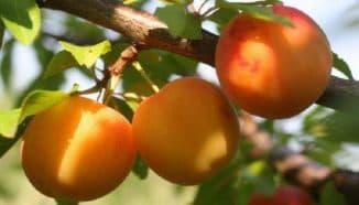 лучшие сорта персика для средней полосы россии