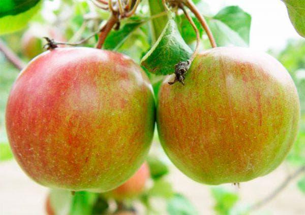 яблоня Румянка свердловская