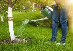 полив дерева сливы