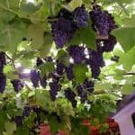Особенности выращивания винограда сорта Изабелла