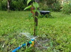 полив дерева груши