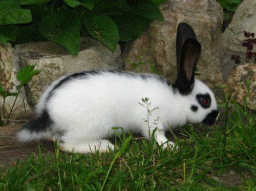 Кролик строкач: описание и характеристика породы, отзывы владельцев