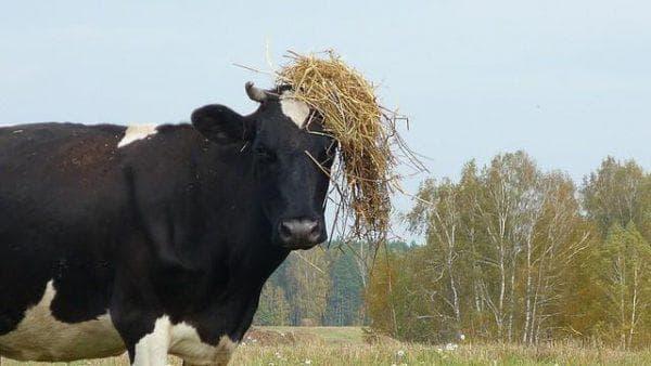 мясная ярославская порода коров