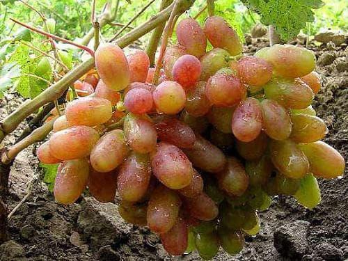 Виноград виктор описание сорта