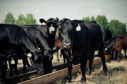 ярославская порода чёрной коровы