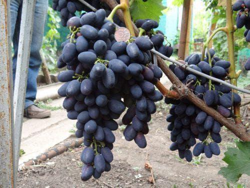 Популярные сорта винограда и их основные характеристики