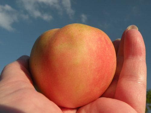 всех возможных помидор персик розовый отзывы фото под