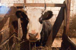 ярославская порода коров в загоне