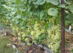 как сажать виноград августин