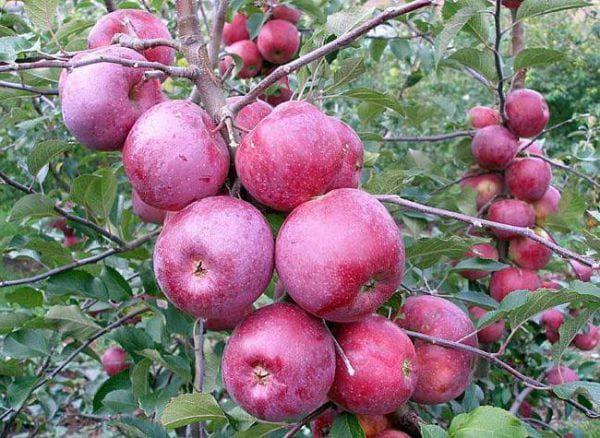 яблоня Апортовая яблоня