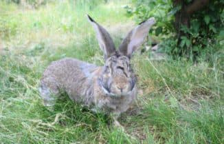 кролик фландр описание