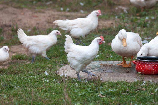 Бресс-гальская порода кур