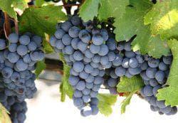 большие грозди винограда
