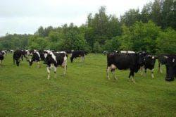 пастбище черно пестрой породы коров