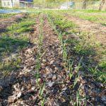 можно ли весной сеять сидераты