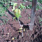 описание груши Лесная красавица