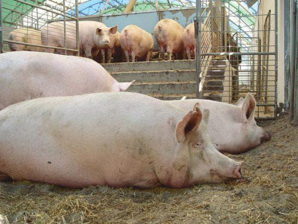 мясной откорм свиней
