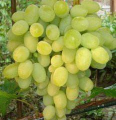 виноград августин в саду