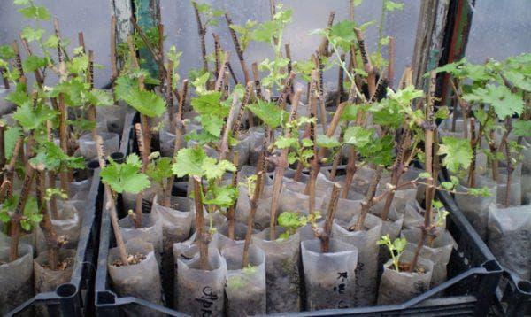 черенки винограда лора