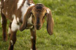 нубийские козы питание