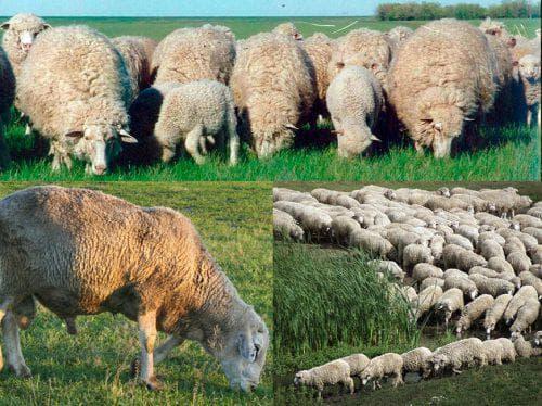 Куйбышевская порода овец - описание