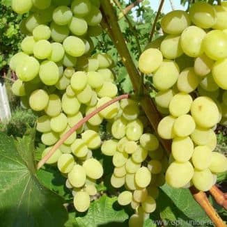 виноград августин посадка