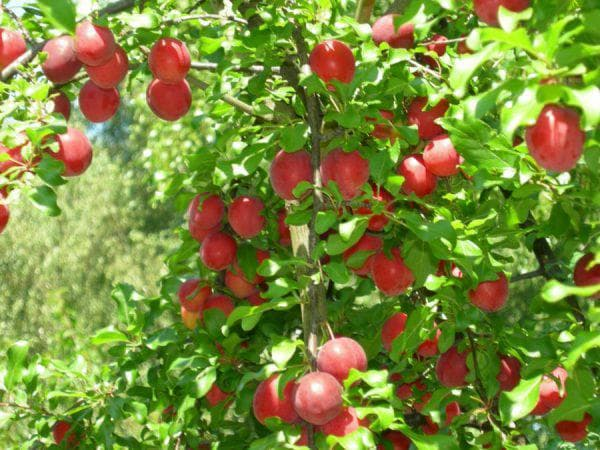 яблоня Скороспелка красная
