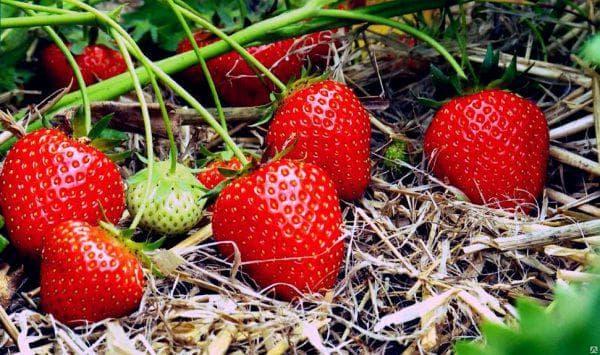 Клубника Берегиня: описание, особенности выращивания сорта