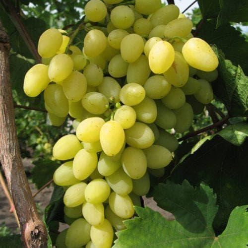 Виноград Лора описание сорта и условия содержания