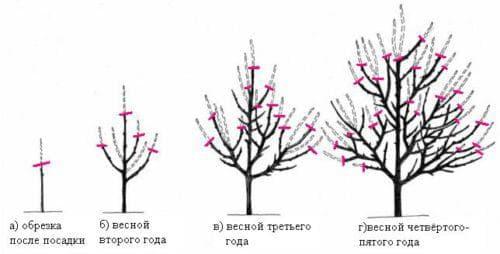 обрезка дерева груши