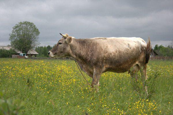 молочная костромская порода коров