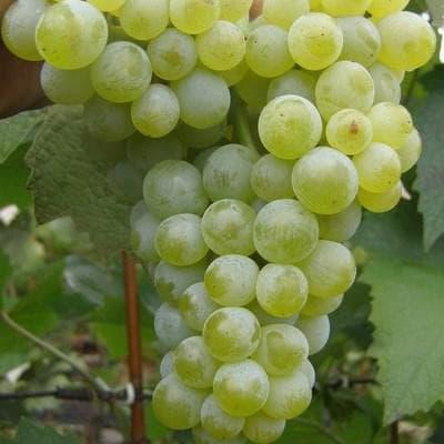 виноград Ромулюс