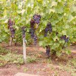 фото сорт винограда Монарх.