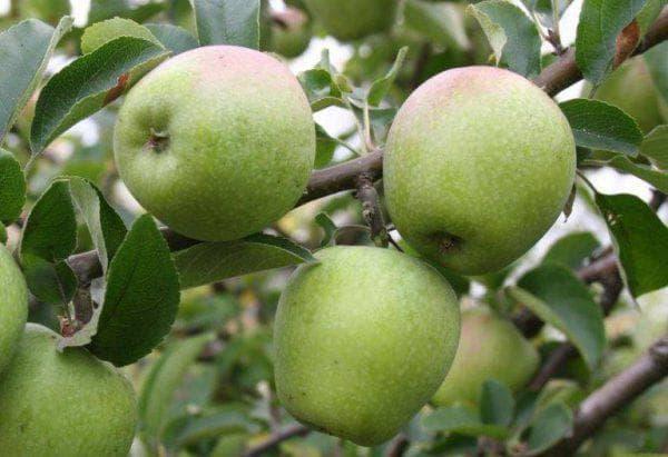 яблоня Изумительное