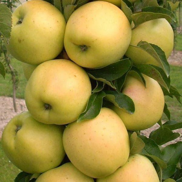 яблоко Медок