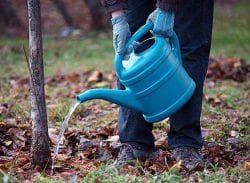 полив дерева алычи