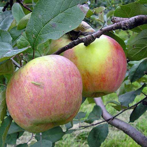 яблоня Студенческий