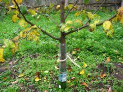 зимовка дерева груши
