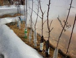 укрытие на зиму дерева алычи
