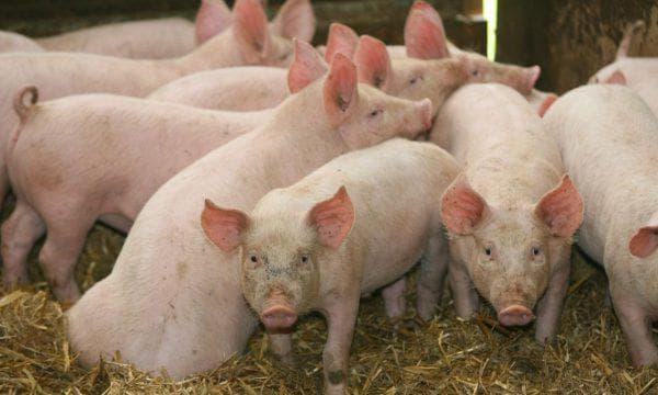мясные виды свиней