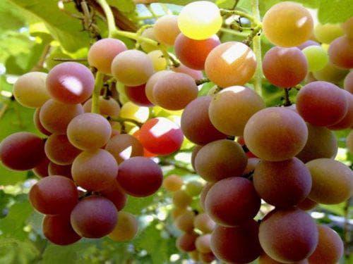 Виноград Лидия: описание сорта и фото - обрезка и размножение