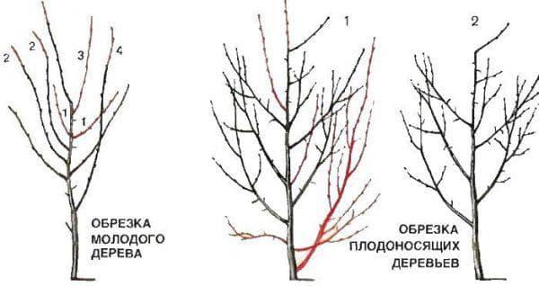 обрезка дерева алычи