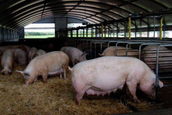 белая мясная порода свиней