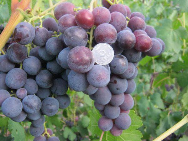 виноград сорт рошфор