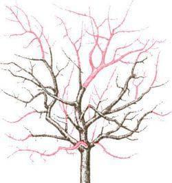 обрезка дерева сливы