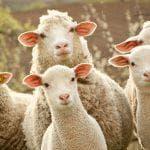 порода овец Мериносы