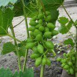 отзывы про виноград Монарх
