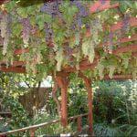 фото сорт винограда Анюта