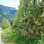 сорта колоновидной яблони для Урала